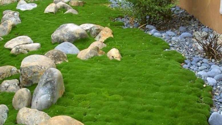 Мшанка: посадка и уход в открытом грунте, выращивание из семян