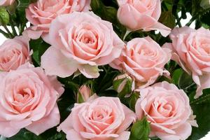 Канадские розы – неприхотливые красавицы сада