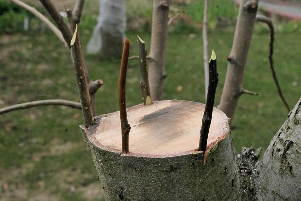 Прививка плодовых деревьев весной: как делать колировку деревьев своими руками