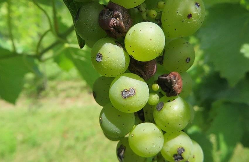 Чем лечить антракноз винограда: препараты для профилактики и борьбы  - vinograd-loza