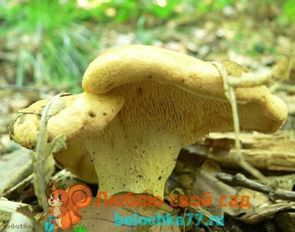 Съедобен ли гриб ежовик и его описание (+30 фото)?