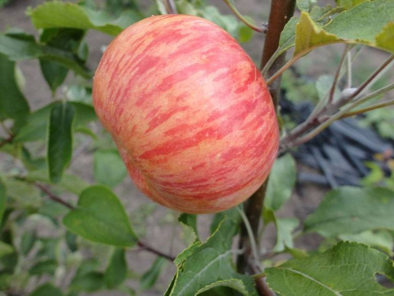 Сорт яблони уэлси, он же изобильный