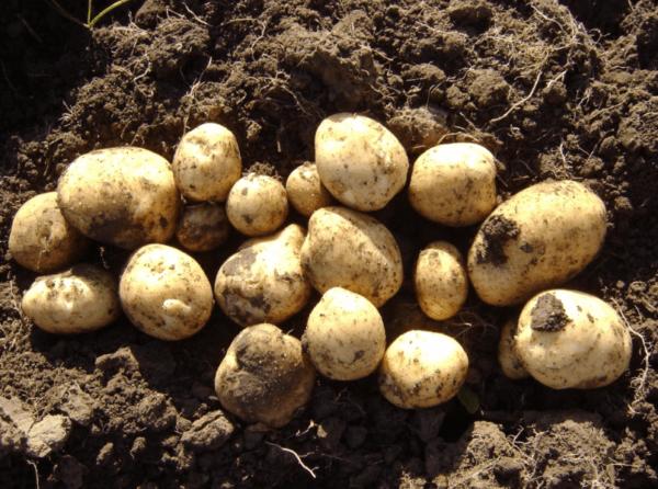 Картофель ласунок: описание и характеристика сорта, правила выращивания, отзывы