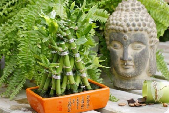Драцена сандера или комнатный бамбук: сорта, уход и размножение