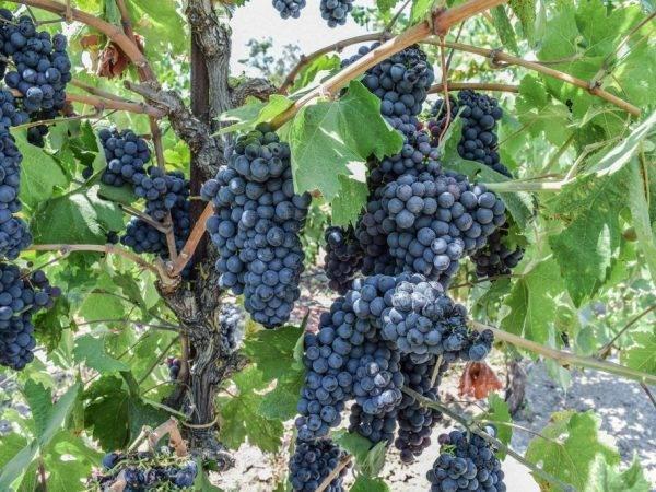 Виноград шахтер: что нужно знать о нем, описание сорта, отзывы
