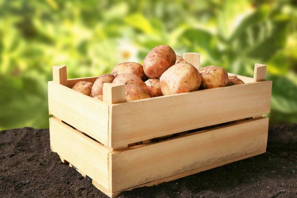 Сорта картофеля для сибири: фото с названием и описанием, новые вкусные виды с высоким содержанием крахмала для новосибирской области, лучшие голландские клубни