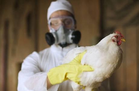 Признаки и профилактика птичьего гриппа у кур
