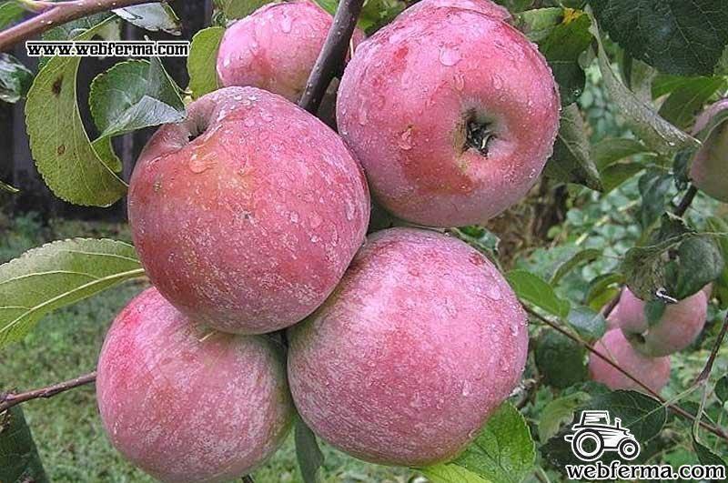 Описание сорта яблони уэлси: фото яблок, важные характеристики, урожайность с дерева