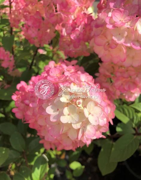 Гортензия пинк даймонд (pink diamond) метельчатая: описание сорта, посадка и уход - rus-womens