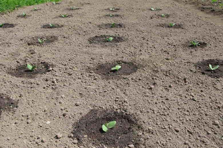 Когда и как сажать тыкву на рассаду: посадка семян, правила, уход