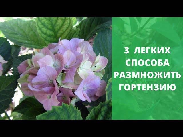 Гортензия: размножение черенками весной, летом и осенью