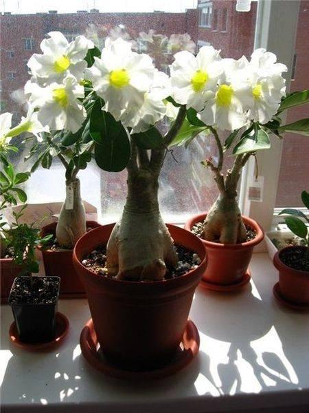 Адениум: уход, размножение, болезни. советы для начинающих цветоводов