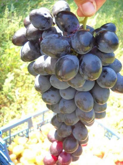Виноград фурор - мир винограда - сайт для виноградарей и виноделов
