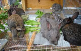 Когда можно отсаживать крольчат от крольчихи: в каком возрасте, чем кормить