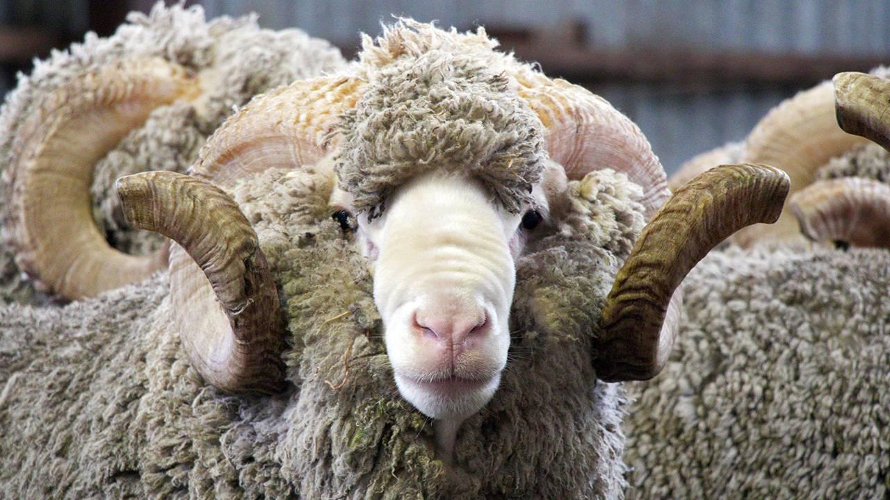 Овцы мериносы: обзор шерстных пород