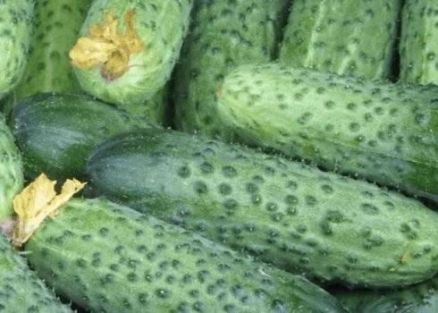 Огурец гинга f1: описание и особенности сорта, посев семян, выращивание в теплице, открытом грунте, отзывы