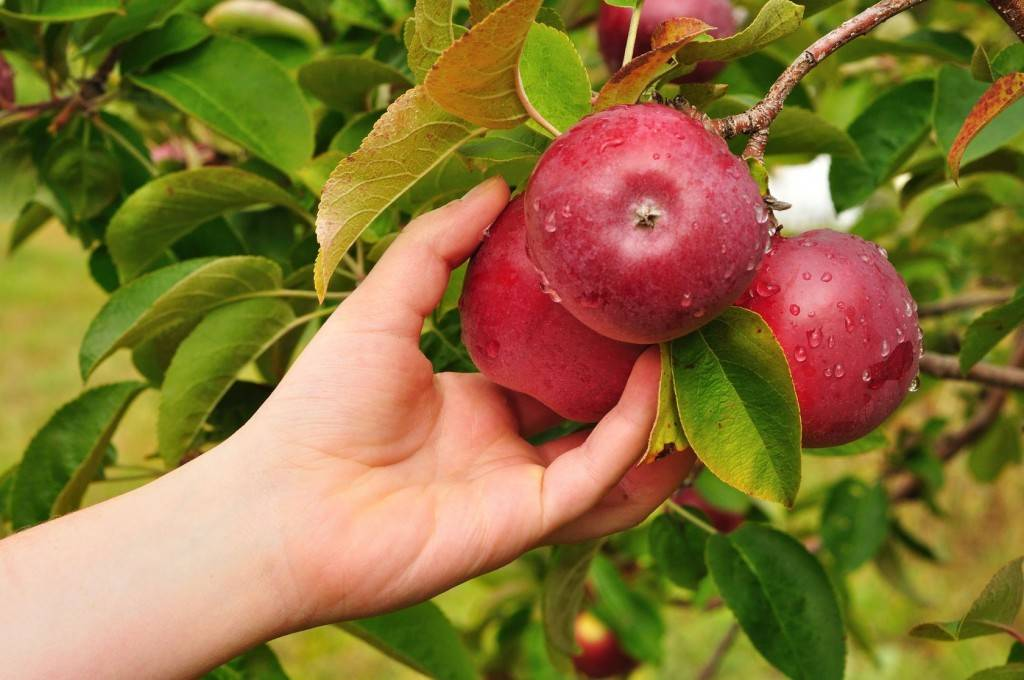 Иммунная зимняя яблоня флорина