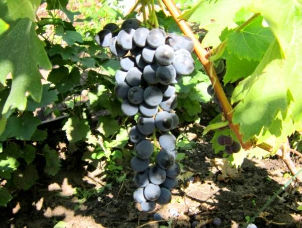 Сентябрьский ливадийский сорт винограда
