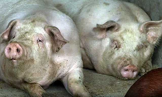 Как правильно построить и обустроить свинарник?