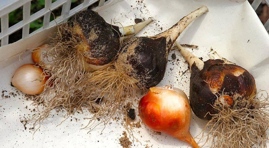 Когда выкапывать тюльпаны после цветения, фото