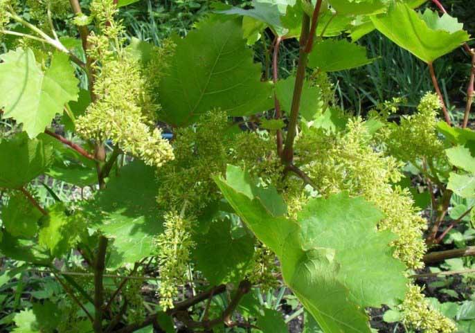 Виноград сорта блестящий