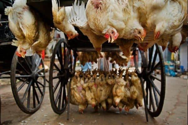 Понос у кур: причины и схемы лечения