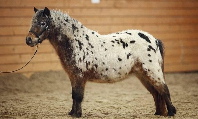 Мини лошади миниатюрные карликовые описание виды