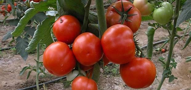 Когда и как высаживать рассаду помидоров в теплицу: при какой температуре