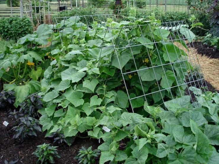 Подкормка огурцов народными средствами  3 работающих рецепта | советы садоводам
