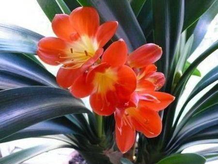 Кливия: уход в домашних условиях, фото цветка