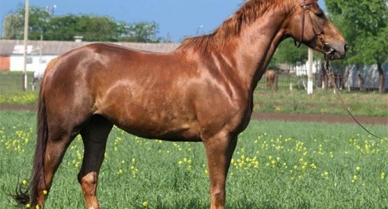 Буденновская лошадь: история, экстерьер, особенности характера, разновидности, образ жизни в природе