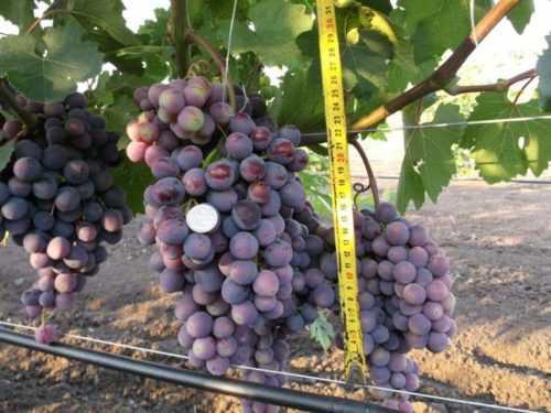 Виноград подарок запорожью: особенности и уход. секреты успешного виноградаря | наш сад