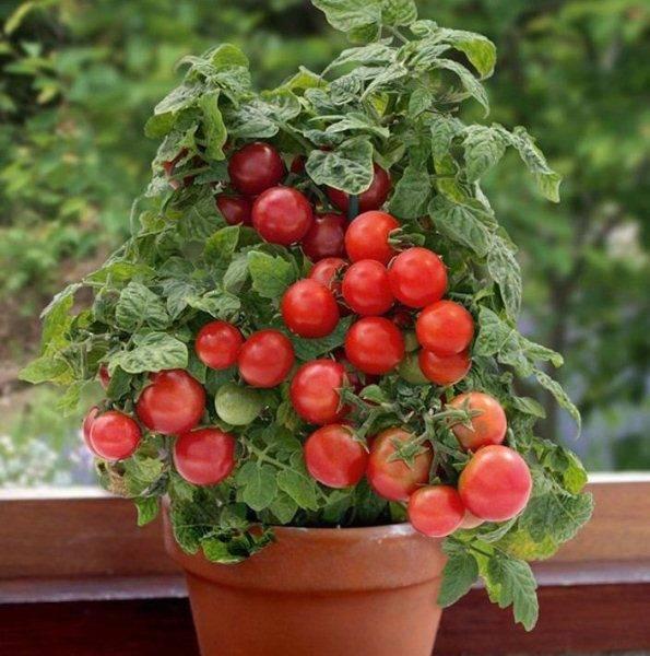 Низкорослые помидоры: лучшие сорта с описанием