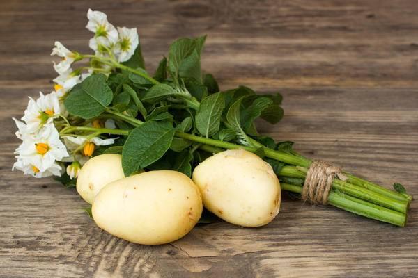 Выращивание картофеля из семян: правила посадки и ухода