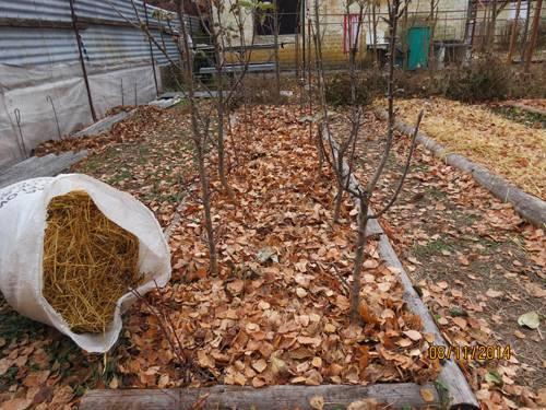 Правильная пересадка яблони осенью на новое место. опыт профессионалов