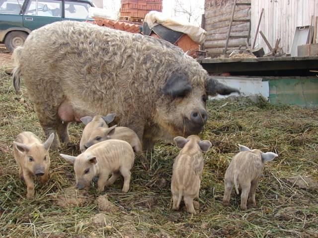 Венгерская мангалица: фото, описание породы свиней, разведение, содержание, уход + отзывы
