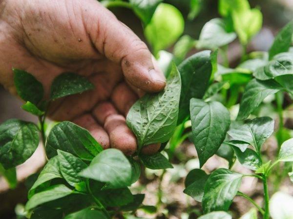 Самые распространенные болезни перца сладкого и борьба с ними (фото листьев, побегов, плодов)
