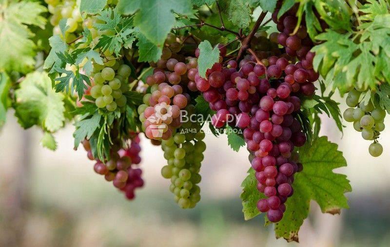 В чем польза зеленого винограда для организма и может ли быть от него вред здоровью?