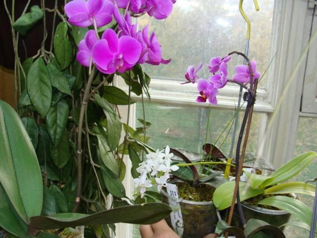 Многообразие сортов орхидеи фаленопсис. каталог с названиями и фото