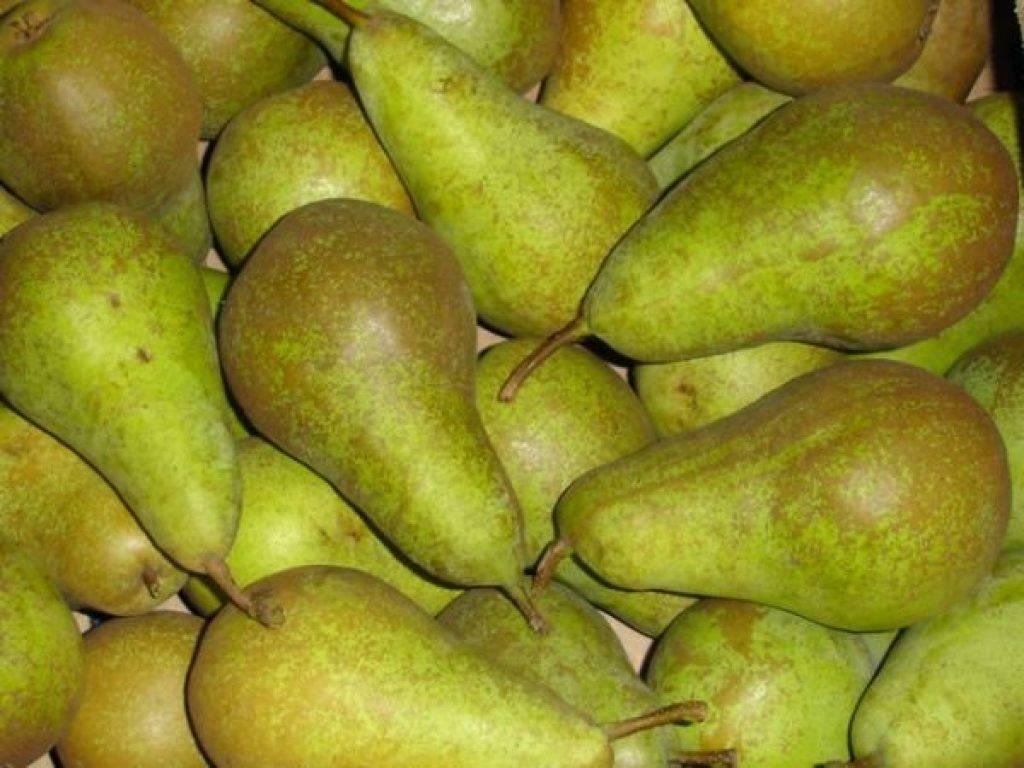 Сорт груши конференция: его особенности, уход за фруктовыми деревьями