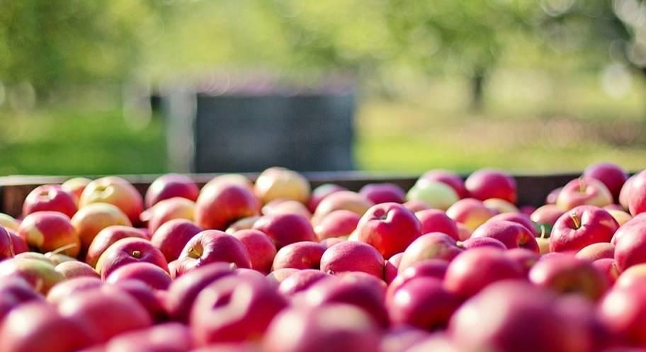 Как правильно сохранить яблоки в домашних условиях?