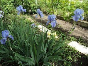 Цветы ирисы — посадка в открытом грунте, правила ухода, использование в ландшафтном дизайне