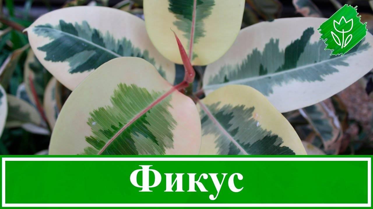 Фикус пестролистный: уход в домашних условиях, фото, размножение