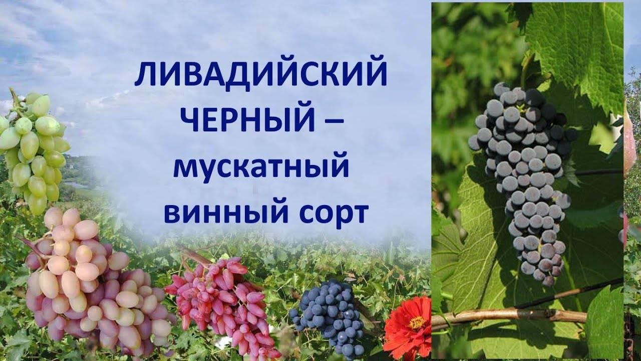 Виноград «ливадийский чёрный»: описание сорта, фото, отзывы