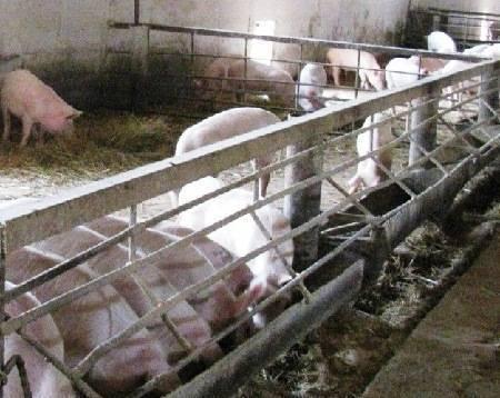 Свинарник своими руками: фото, чертежи, схемы, видео свинарник своими руками: фото, чертежи, схемы, видео
