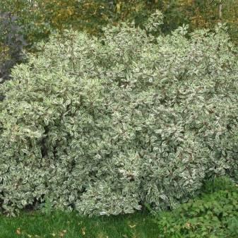 ✅ белый дёрен элегантиссима: посадка и уход - сад62.рф