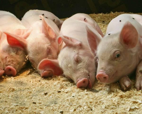 Био подстилка для свиней. сухая, теплая, несменяемая подстилка.