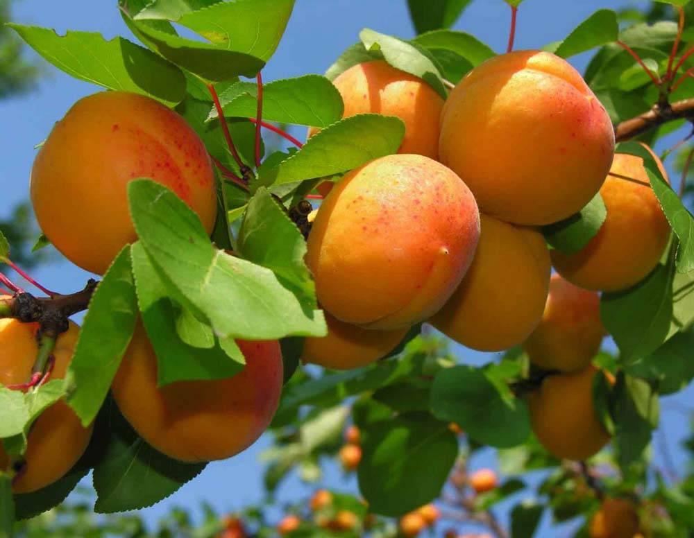 Сорт абрикоса триумф северный: описание с фото, посадка и уход, отзывы