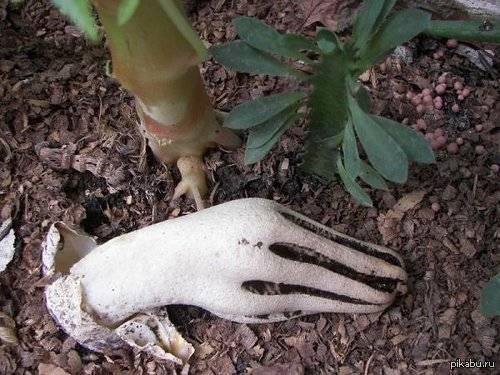 Клатрус арчера или пальцы дьявола