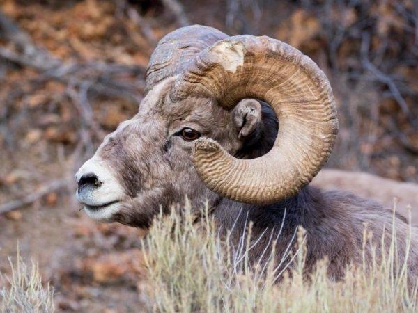 Алтайский горный баран: особенности и проблемы вида